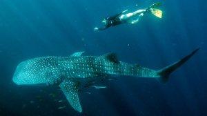 470770-121208-whale-shark